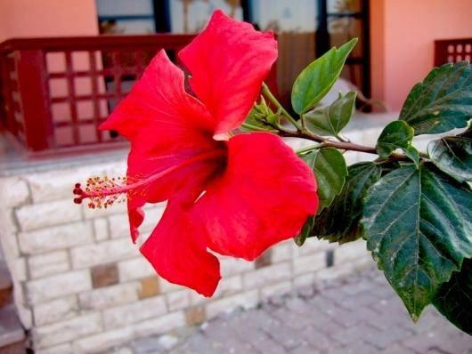 Чайная роза почему не цветет