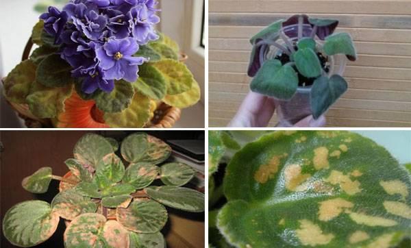 Фиалки выращивание и уход в домашних условиях
