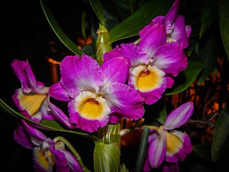 Dendrobium орхидея