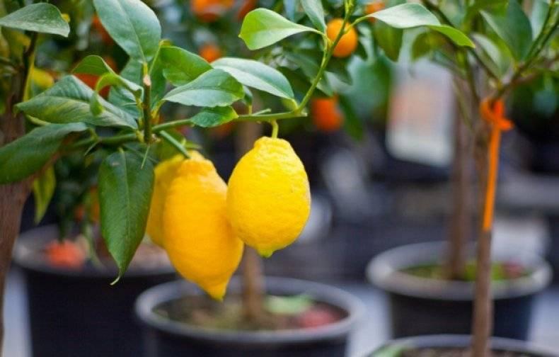 Грунт для лимона в домашних условиях