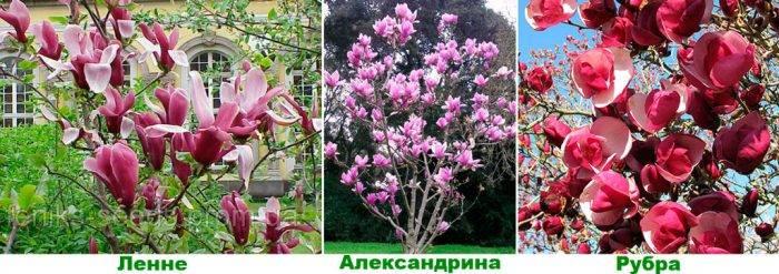 Магнолия растение