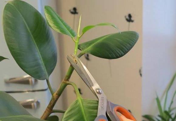 как обрезать дерево фикуса