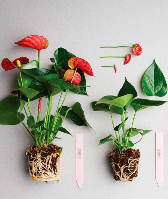 Можно ли пересаживать цветущий антуриум