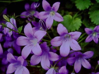 Цветы как колокольчики название