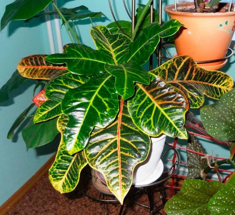 Кротон - прихотливое и непростое в уходе растение