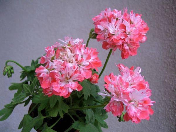 Пеларгония santorini