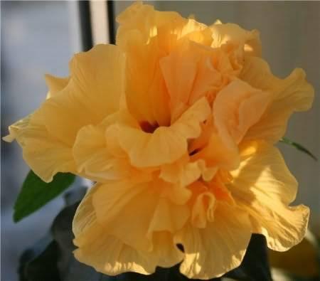 Почему желтеют листья у китайской розы комнатной