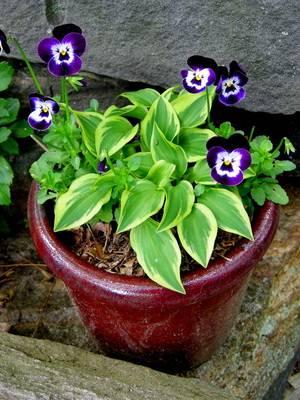 Растение хоста виды