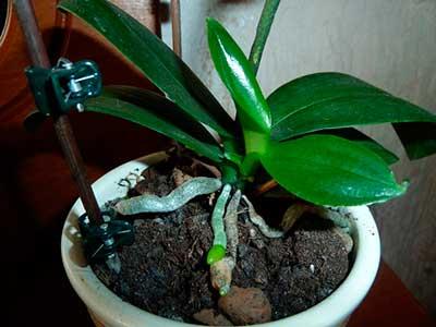 Как вырастить детку орхидеи из цветоноса
