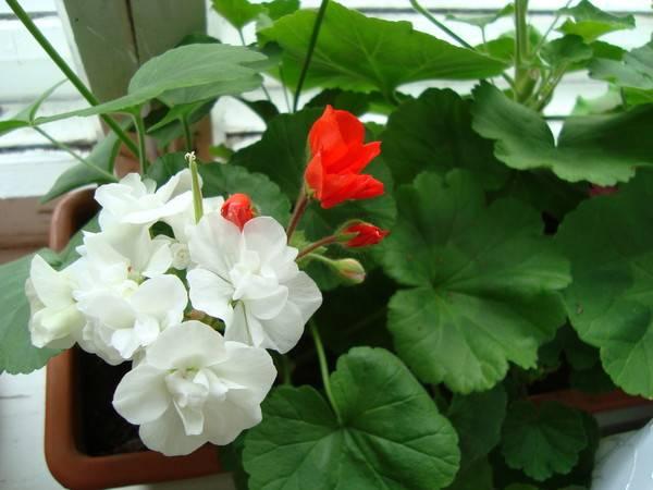Можно ли пересаживать цветущую герань