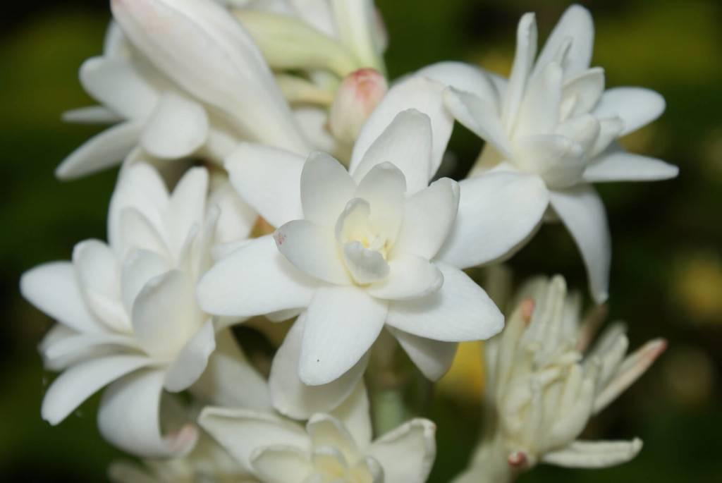 Фото туберозы - прекрасного растения, которое лучше не держать дома