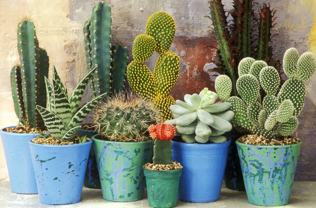Народные приметы и кактусы