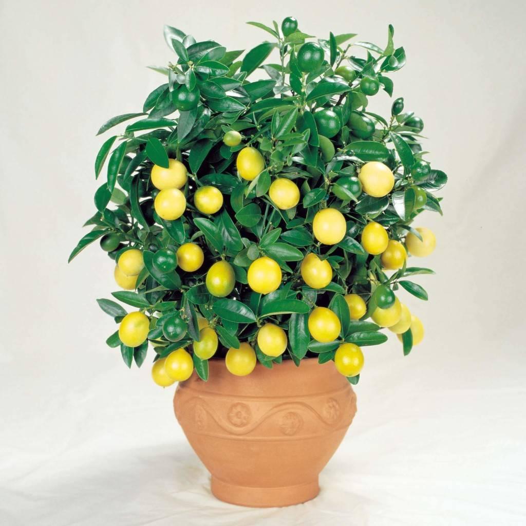 Лимонное дерево рекомендуют к заведению дома