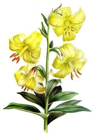Чалмовидная лилия