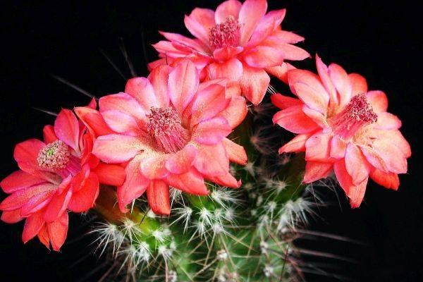 Когда цветут кактусы в домашних условиях