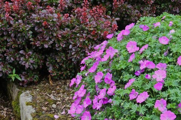 Пеларгония садовая многолетняя