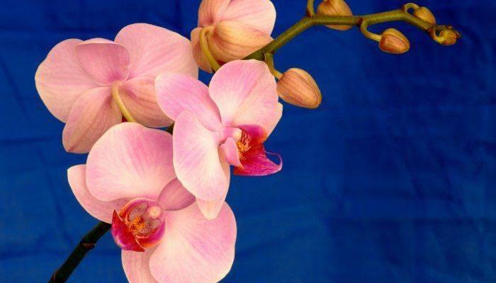 Орхидея выпустила цветонос что делать