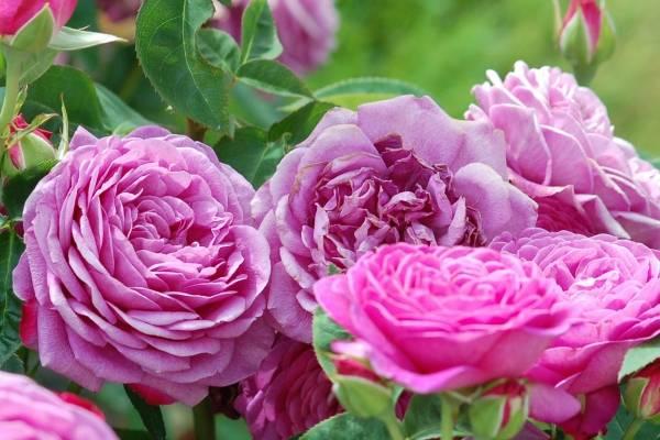 Роза рамблер