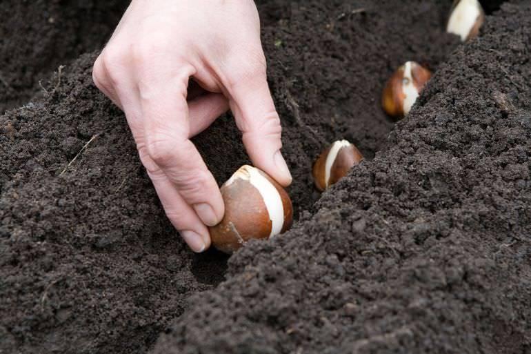 Сроки посадки тюльпанов осенью в средней полосе