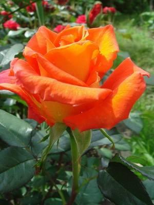 Роза флорибунда сорта