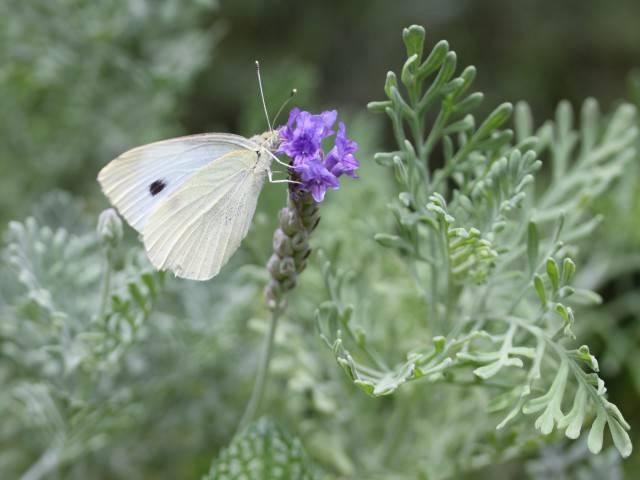 Лаванда цветение