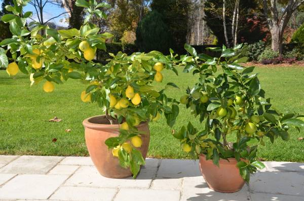 citrus-in-pots-2