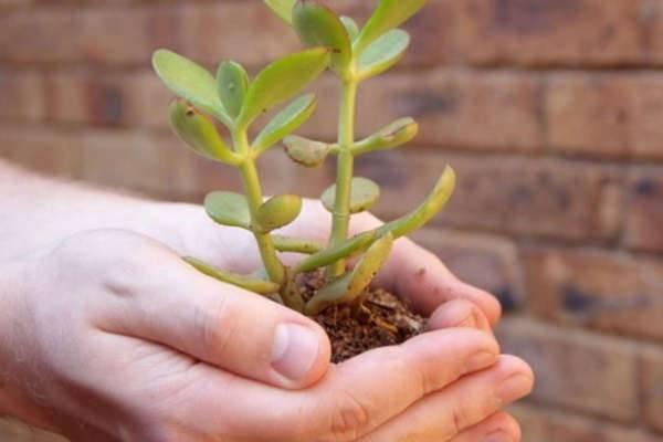 Как посадить отросток денежное дерево