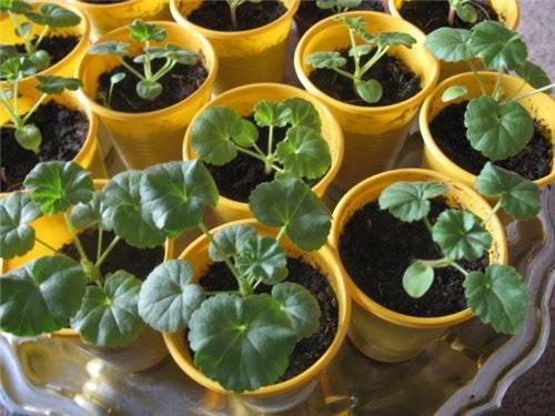 Как выращивать герань