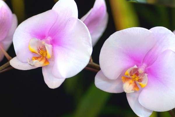 Что делать если не цветет орхидея