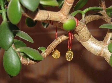 Как правильно сажать денежное дерево