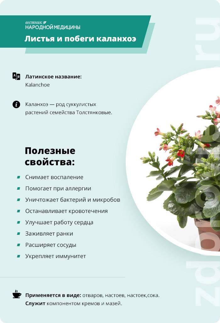Цветок каланхоэ лечебный