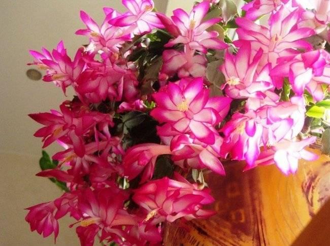 Декабрист цветок уход в домашних