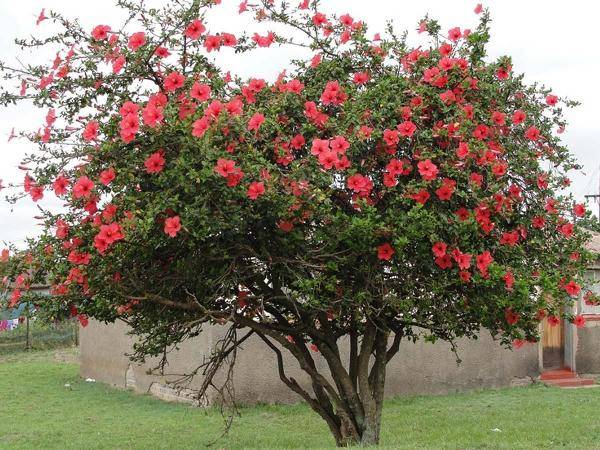 Цветок похожий на розу эустома