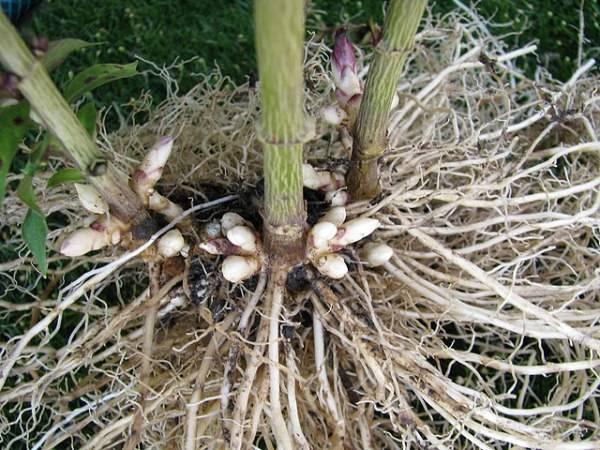 Флоксы многолетние посадка семенами