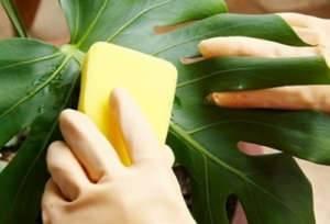 Как избавиться от тли на домашних цветах