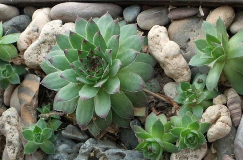 Цветок с толстыми листьями