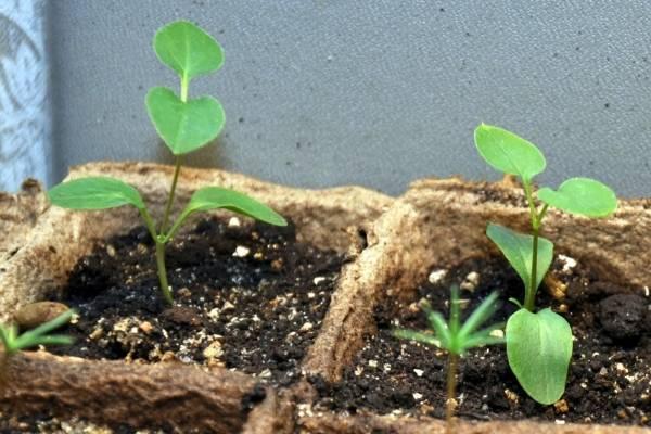 Как сажать гортензию семенами