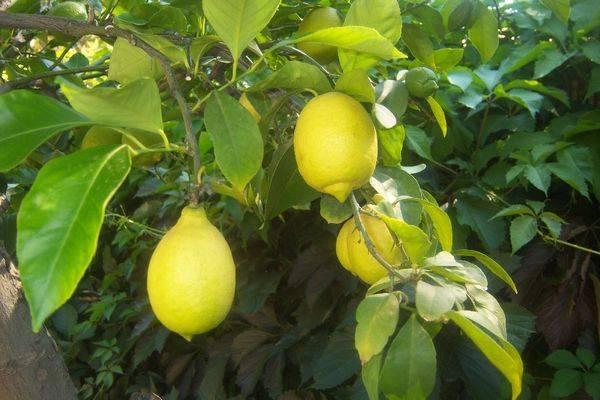 Лимон Павловский дает плоды весь год