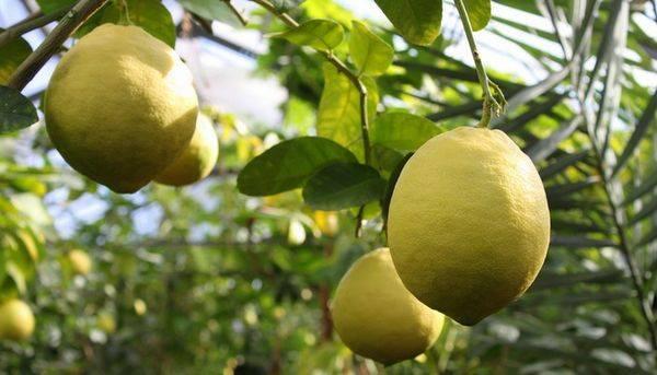 Лимон Юбилейный является крупноплодным сортом
