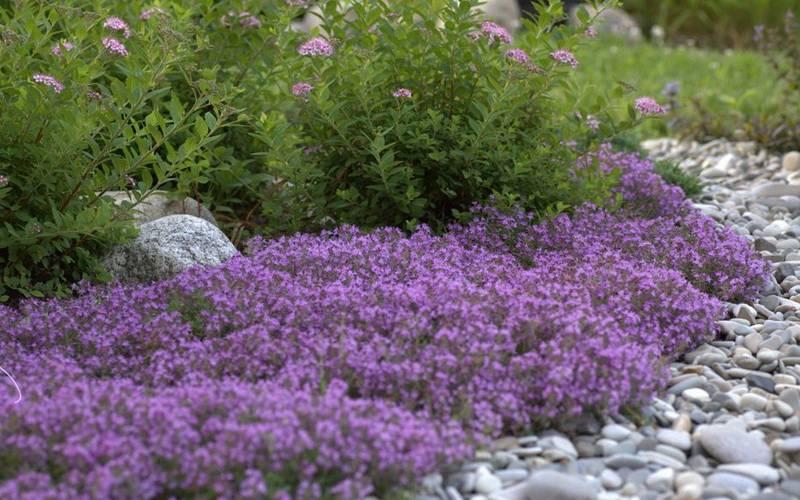 Стелющиеся цветы многолетники