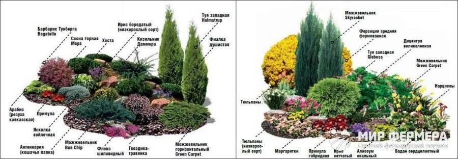 Декоративная сосна для сада
