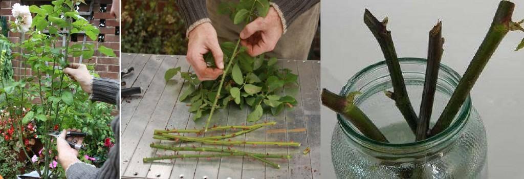 Как сделать черенок из розы