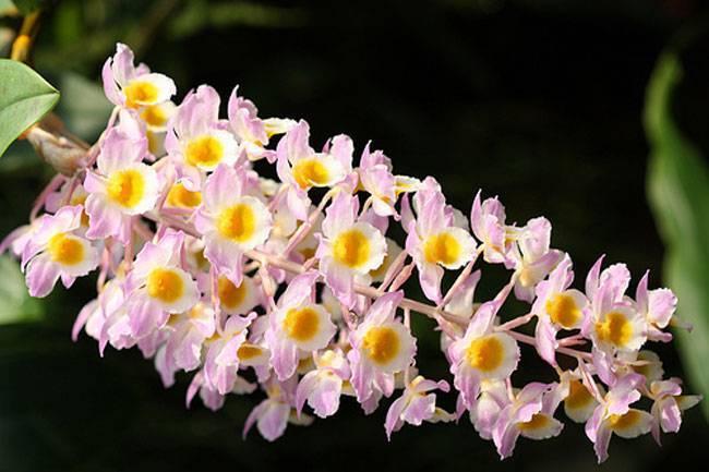 Девичья краса цветок