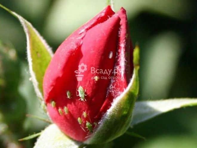 Народное средство от тли на розах