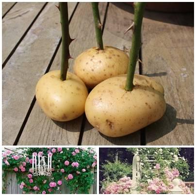Выращивание розы из черенка в картошке
