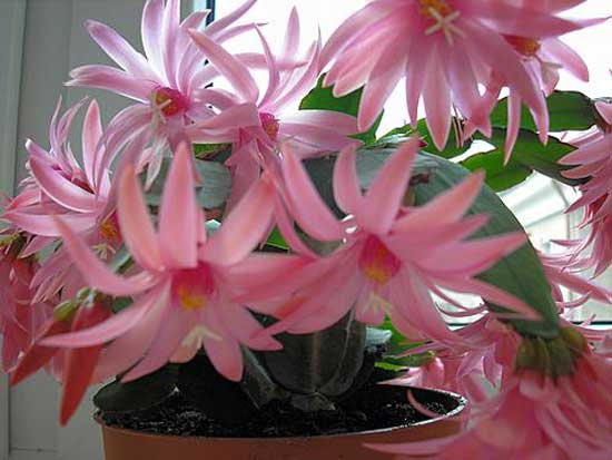 Почему не цветет декабрист