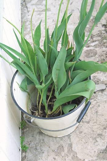 Когда надо выкапывать луковицы тюльпанов