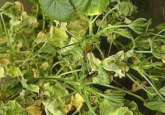Почему у герани мелкие листья