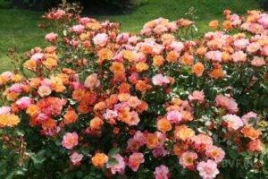 Роза лидия спрей