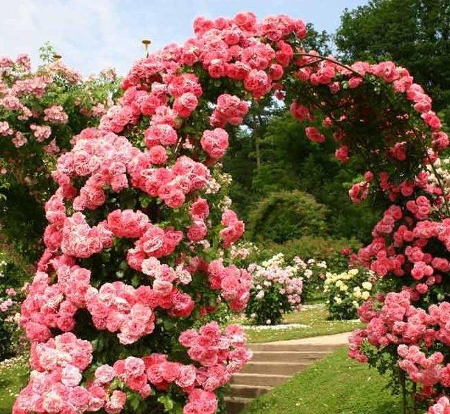 Роза ютерсен розенкенигин